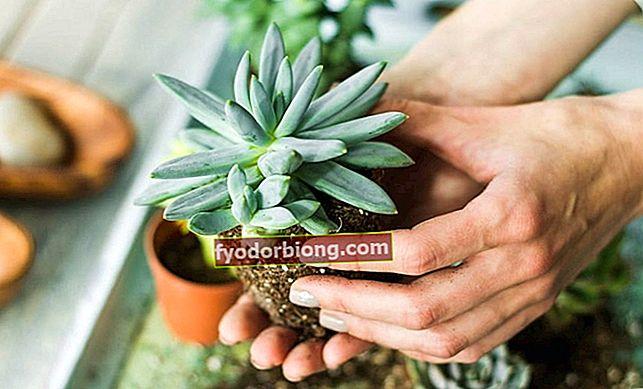 Παχύφυτα - πώς να φυτέψετε, να πάρετε φυτά και παχύφυτα κήπου