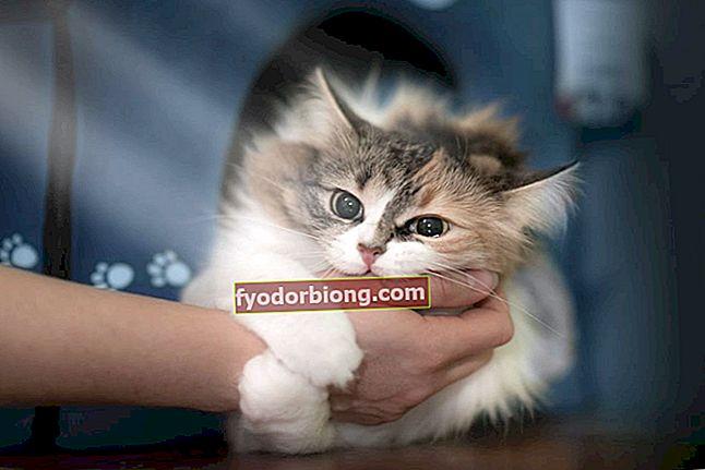 Κούρεμα γάτας; Τι μπορεί να είναι; - Τύποι meow, κίνητρα και τι να κάνετε